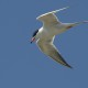 Forsters tern hunting