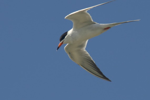<A HREF='https://www2.usgs.gov/envirohealth/cbp/headlines/2017-10-18-hg_asymmetry.html'>Body Symmetry in Forster&#39;s Terns Related to Mercury Exposure</A>