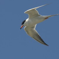 Forsters tern (Sterna forsteri) while hunting in flight