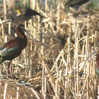Photograph showing white-faced ibis nesting