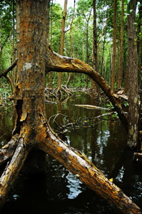 A large red mangrove near the Shark River in Everglades National Park.