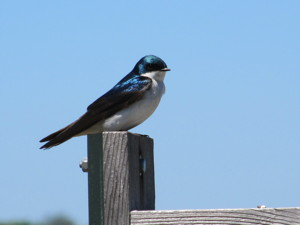 Tree swallow sitting on a fence post.