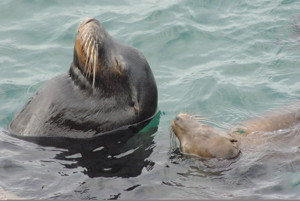 Closeup of two sea lions swimming on their backs with their heads sticking out of the water.