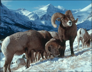 Bighorn sheep rams on snow filed in Glacier Nationa Park, MT