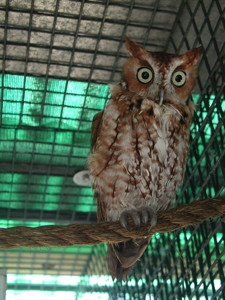 Eastern screech-owls (Megascops asio) in a cage