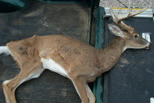 A white-tailed with chronic wasting disease