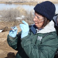 USGS scientist collecting a sample from a pintail duck