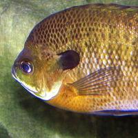 Bluegill sunfish - Lepomis macrochirus
