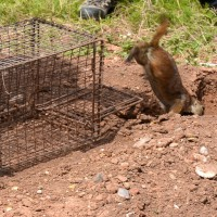 A prairie dog runs back to its burrow after being released from a tra