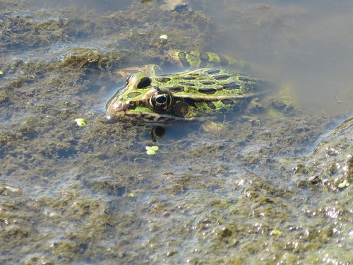 <A HREF='/envirohealth/headlines/2018-09-07-frog_exposure_to_pesticides.html'>Unique Methods Used to Understand Frog Exposure to Pesticides in Agricultural Settings</A>