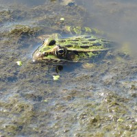 Close up of a Northern Leopard frog - Lithobates pipiens - in a wetland