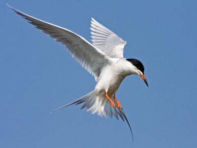 Foster's Tern (Sterna forsteri) while hunting in flight