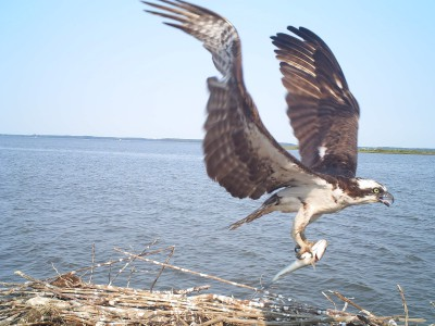 Game camera image of an osprey taken on Poplar Island, Maryland
