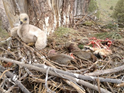 Golden eagle chick in nest with ground squirrel and raptor carcasses