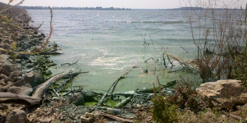 A bloom of cyanobacteria near the shore of Milford Lake, Kansas